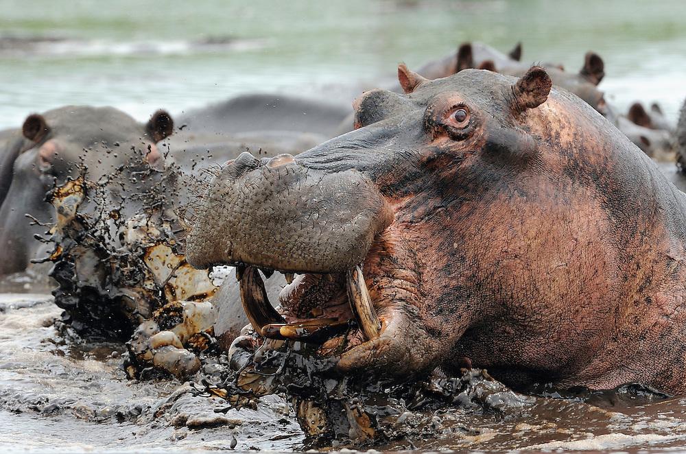 Hippopotamus (Hippopotamus amphibius) aggressive dominant male, Lake St Lucia wetlands NP, South Africa
