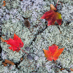 Maple leaves and reindeer lichen on Silver Mountain in Lempster, New Hampshire.