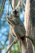 Red Fronted Lemur, Eulemur rufifrons, Male, Near Mantadia National Park, Andasibe, Madagascar, also known as Bennett's brown lemur, red-fronted brown lemur, Eulemur fulvus rufus, Eulemur rufus, Cathemeral - Active intermittently throughout the day and night, rather than exclusively during the day or night, Near Threatened on the IUCN Red List and is listed on Appendix I of CITES