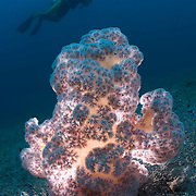 Diver with an illuminated plush pink soft coral growing in the muck of Lembeh Strait, Indonesia