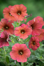 Petunia Petchoa BeautiCal Series 'Cinnamon'