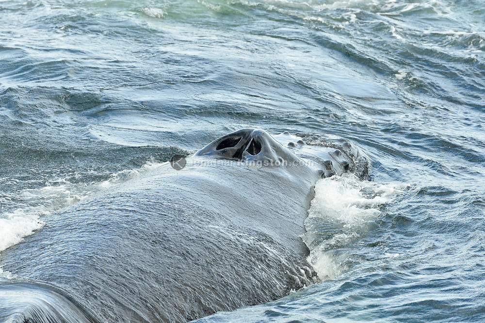 Close-up of the blowholes and rostrum of a humpback wale in the waters near Catherine Island, Alaska.