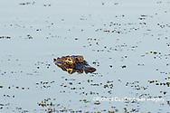 02929-00902 American Alligator (Alligator mississippiensis) Viera Wetlands Brevard County, FL
