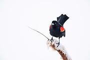 Red-winged Blackbird at Lee Metcalf National Wildlife Refuge.