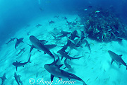 Caribbean reef sharks, Carcharhinus perezi, and blacktip sharks, Carcharhinus limbatus, in a feeding frenzy, Walker's Cay, Abaco Islands, Bahamas ( Western Atlantic Ocean )