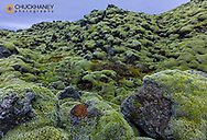 Moss carpets lava field in south Iceland
