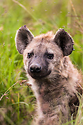 Spotted Hyena (Crocuta crocuta) In the gross. Photographed in Tanzania