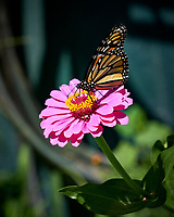Monarch Butterfly on a Zinnia Flower. Image taken with a Fuji X-H1 camera and 80 mm f/2.8 macro lens (ISO 200, 80 mm, f/4, 1/500 sec).