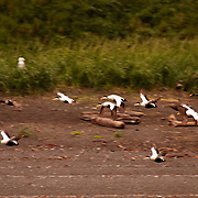 King Eider (Somateria spectabilis) Flock of male and female Eiders in flight. St. Paul, Pribilof Islands. Alaska.