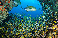 """Large Black Jacks and hundreds of Snappers cruise in and out under a natural """"swim through"""".<br /> <br /> <br /> Shot at Cocos Island, Costa Rica"""