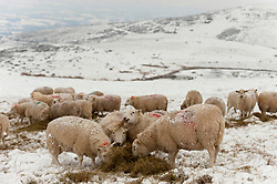 © Licensed to London News Pictures. 01/02/2019. Gwenddwr, Powys, Wales, UK. In sub zero temperatures, on the bleak barren moorland of the Mynydd Epynt range at approximately 400 metres above sea-level, a flock of Welsh Mountain ewes, feed on hay and mineral supplements brought to them by beef and sheep farmer John Powell, who farms sheep with his brother near, Gwenddwr. in Powys. credit: Graham M. Lawrence/LNP