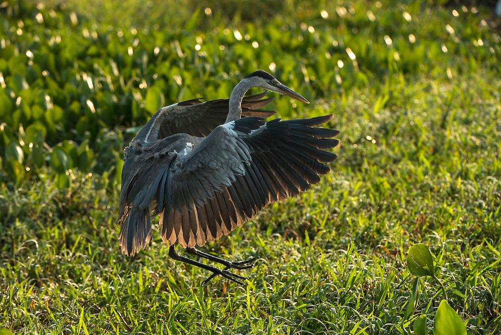 White-necked (Cocoi) Heron (Ardea cocoi)<br /> Northern Pantanal<br /> Mato Grosso<br /> Brazil