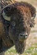 Mature bull bison (buffalo) in prairie habitat