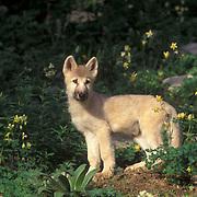 Arctic Wolf, (Canis lupus tundriarum) Pup. Summer. Montana. Captive Animal.