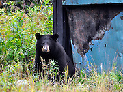 A black bear sits near a dumpster, from which he pulled a popcorn snack. Photo taken in Valdez, Alaska.