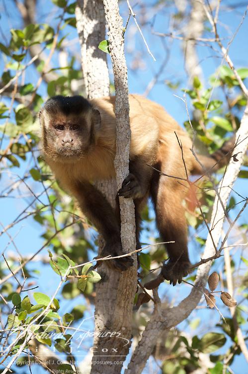 Tufted Capuchin, Parnaiba Headwaters National Park, Brazil.