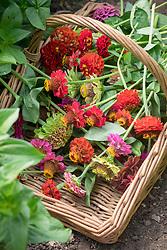 Wicker basket filled with zinnia deadheads