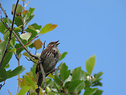 singing male sparrow