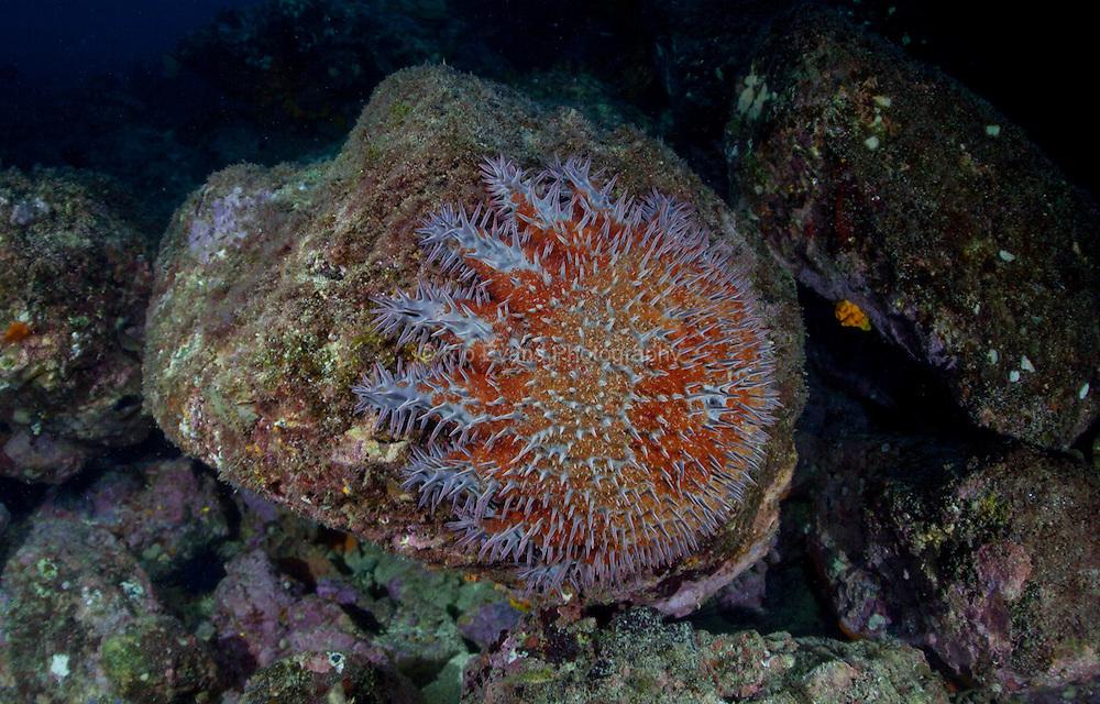 A crown of thorns sea star off the coast of Coiba, Panama.
