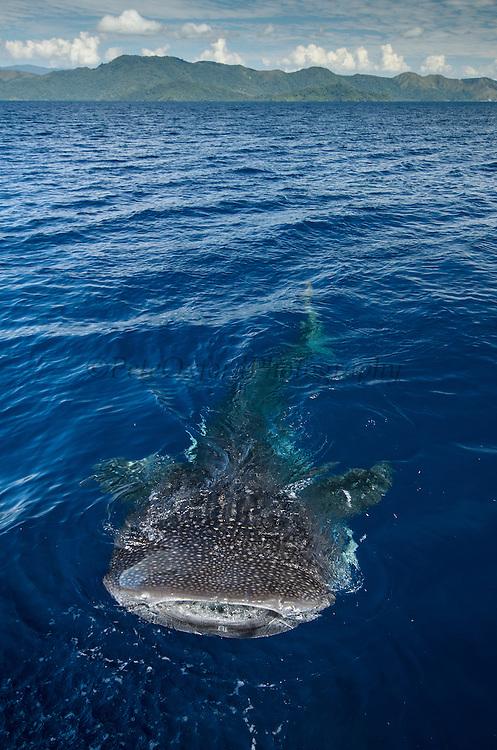 Whale Shark (Rhincodon typus)<br /> Cenderawasih Bay<br /> West Papua<br /> Indonesia