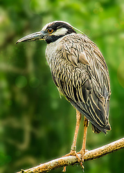 A Yellow Crowned Night Heron Perched In The Trees