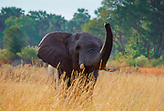An adult elephant smelling a scent in the savannah plains of  Moremi National Park, Botswana RESERVED USE - NOT FOR DOWNLOAD -  FOR USE CONTACT TIM GRAHAM