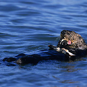 Sea Otter, (Enhydra lutris) Swimming and  eating clams. Monterey Bay, California.