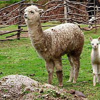 Americas, South America, Peru. An Alpaca mother and cria, bred for their fibrous hair used in weaving textiles, at Awana Kancha in the Urubamba Valley of Peru.