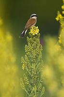 Red-backed Shrike male, Lanius collurio, on a Denseflower mullein, Verbascum densiflorum, Neuntoeter Maennchen auf großbluetiger Koenigskerze, near Nikopol, Bulgaria