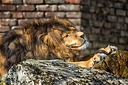 01.04.2016, Zoo, Duisburg, GER, Tiere im Zoo, im Bild maennlicher Loewe streckt sich an einem Baumstumpf // during visit to the Zoo. Duisburg, Germany on 2016/04/01. EXPA Pictures © 2016, PhotoCredit: EXPA/ Eibner-Pressefoto/ Hommes<br /> <br /> *****ATTENTION - OUT of GER*****