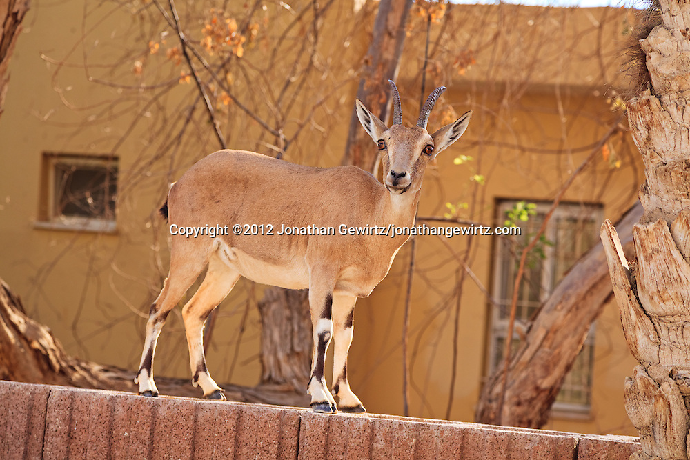A Nubian ibex (Capra nubiana) stands on a fence next to a building near the Ein Gedi nature preserve. WATERMARKS WILL NOT APPEAR ON PRINTS OR LICENSED IMAGES.
