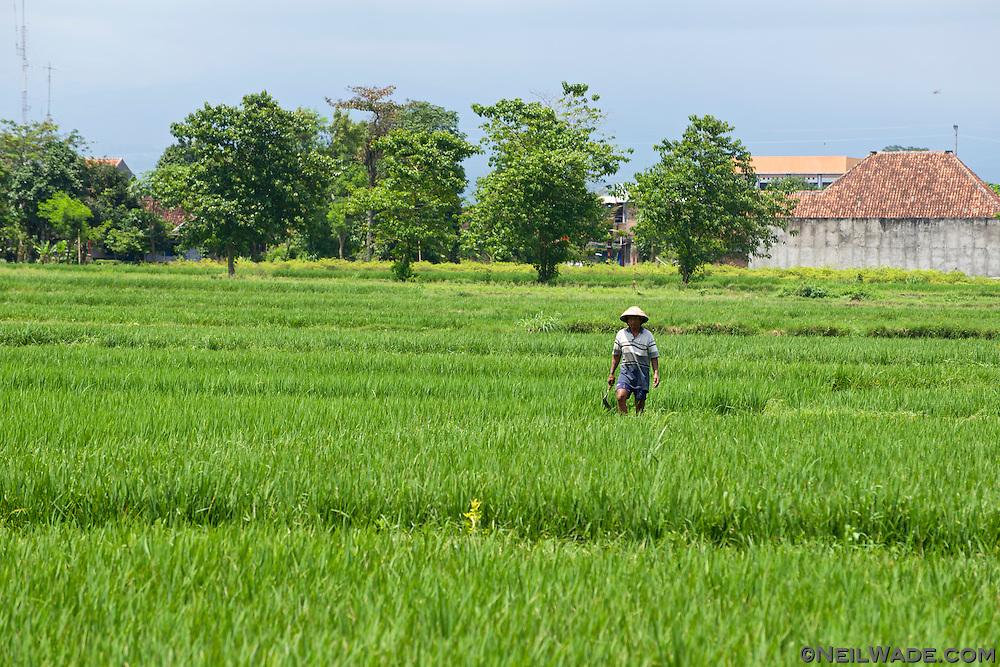 A rice farmer tends his fields near Yogyakarta, Indonesia.