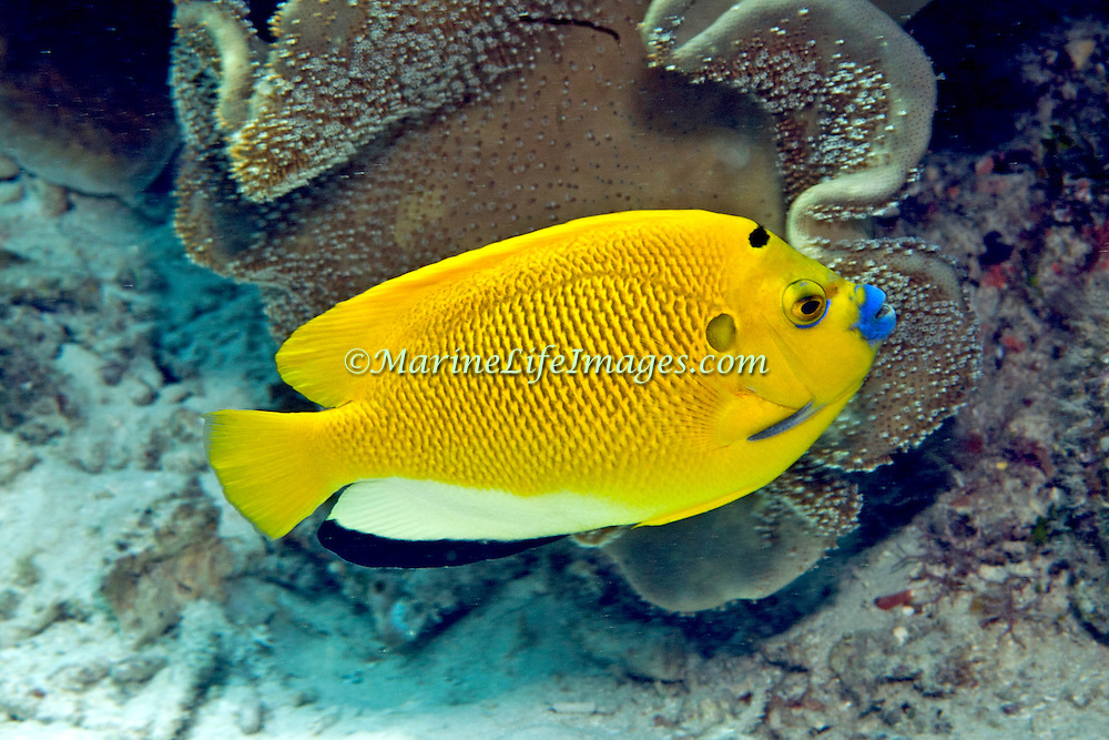 Threespot Anglefish inhabit reefs. Picture taken Lembeh Straits, Sulawesi, Indonesia.
