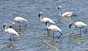 Lesser flamingos (Phoenicoparrus minor) in a lake in the Arusha National Park. Arusha, Tanzania.