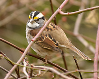 White-throated Sparrow (Zonotrichia albicollis). Image taken with a Nikon D2xs camera and 80-400 mm VR lens.
