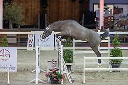 102, Nixon CHM<br /> BWP Hengstenkeuring 2021<br /> © Hippo Foto - Dirk Caremans<br />  12/01/2021