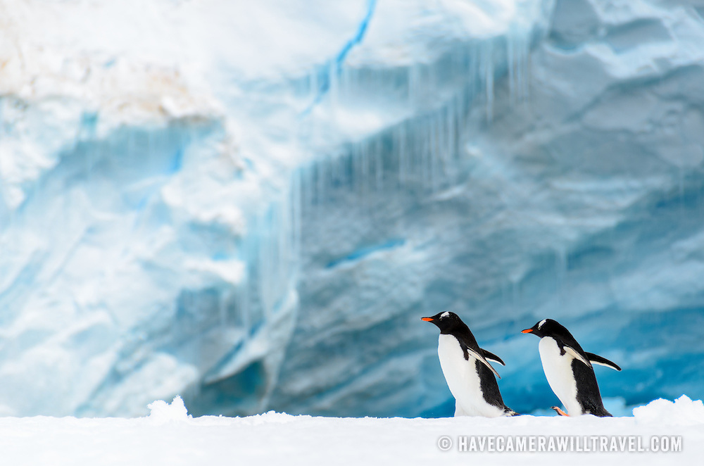 Gentoo penguins on a narrow ice shelf on the shoreline of Cuverville Island on the Antarctic Peninsula.