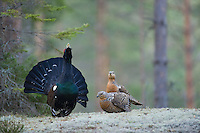 23.04.2009.Capercaillie (Tetrao urogallus) cock displaying in the forest surrounded by females. Courting. Lekking behaviour..Bergslagen, Sweden.