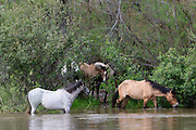 Wild Horses Cooling Off in Salt River