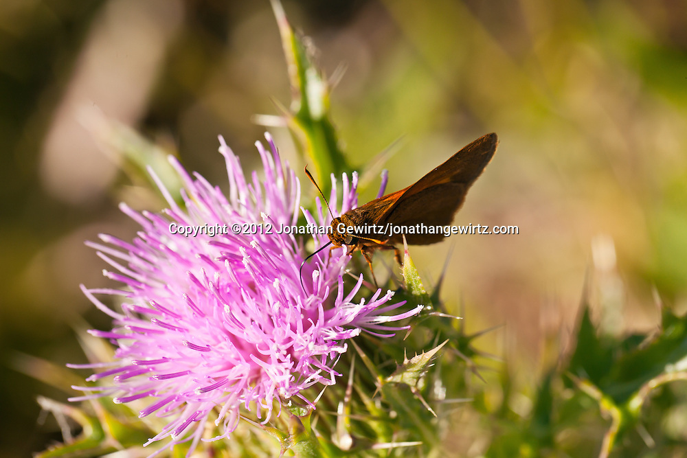 A butterfly or moth, possibly a Skipper butterfly, feeds on a pink thistle flower in the Florida Everglades. WATERMARKS WILL NOT APPEAR ON PRINTS OR LICENSED IMAGES.