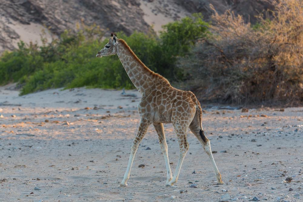 Desert-adapted Giraffe, Hoanib River area, Palmweg Concession, Skeleton Coast National Park, Kaokoland, Namibia