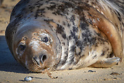 © Licensed to London News Pictures. 15/02/2018. Horsey, UK.  Seals on the beach at Horsey, Norfolk. Half the worlds population of grey seals are found in Britain. The seals come ashore to breed, this is known as a Haul Out. .  Photo credit: Stephen Simpson/LNP