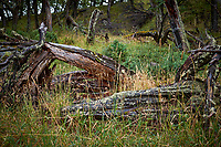 Fallen Tree in the Woods. Lago Grey Hotel, Torres del Paine National Park. Image taken with a Fuji X-T1 camera and 23 mm f/1.4 lens