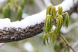 Snow on Texas Buckeye tree spring buds, Texas Buckeye Trail, Great Trinity Forest, Dallas, Texas, USA.