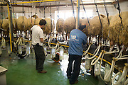 Israel, Sheep dairy farm Milking the sheep connecting the suction  tubes to the animal's udders