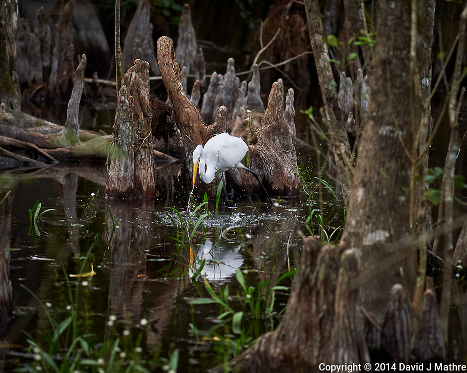 Great Egret in Big Cypress Swamp. Image taken with a Nikon Df camera and 70-200 mm f4 lens (ISO 720, 200 mm, f/4, 1/400 sec).