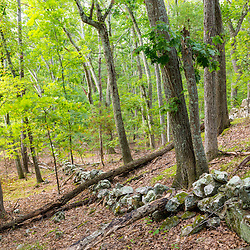 An old stone wall winds its way through a hardwood forest in Ipswich, Massachusetts.