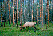Elk grazing in a forest of Larch trees, British Columbia, Canada RESERVED USE - NOT FOR DOWNLOAD -  FOR USE CONTACT TIM GRAHAM