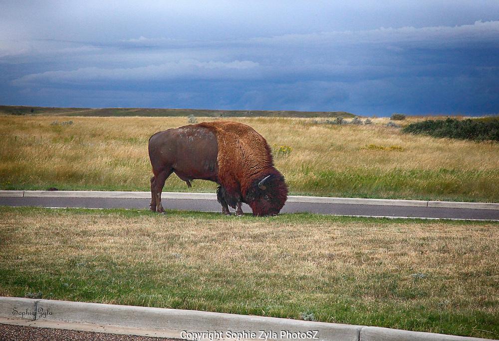 Badlands ND Visitor Center Bison