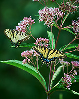 Tiger Swallowtail Butterfly on Joe Pye's Weed. Image taken with a Nikon D4 camera and 80-400 mm VR lens.